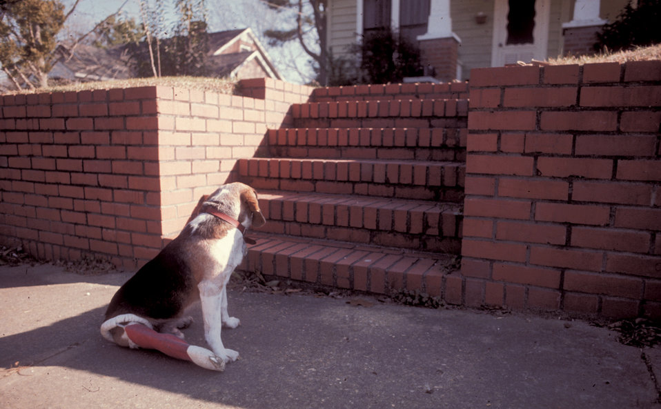 Seated at the bottom of an outdoor stairway, this 1978 image depicting a beagle with a broken right rear leg that had been set in a cast. Th