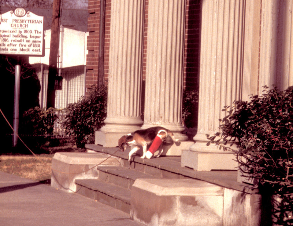 Here, as in PHIL 9059, this functionally-impaired beagle was confronted by a series of steps, which it was about to descend in this 1978 ima