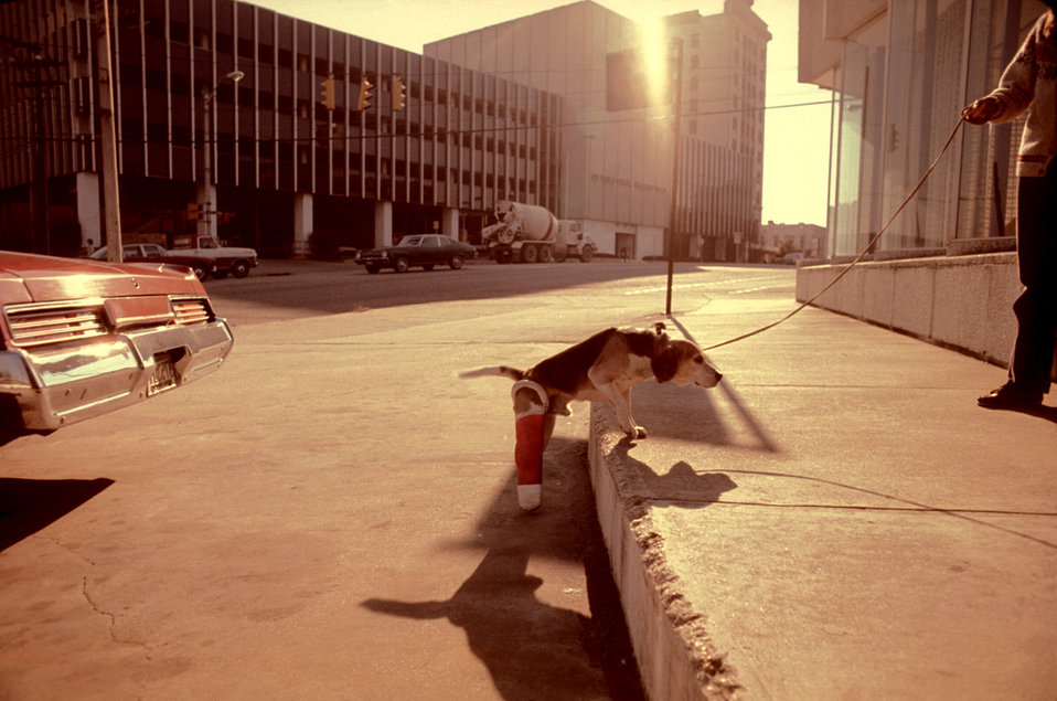 In this 1978 image, a functionally-impaired beagle was confronted by a steep roadside curb, which it was attempting to climb. With a broken
