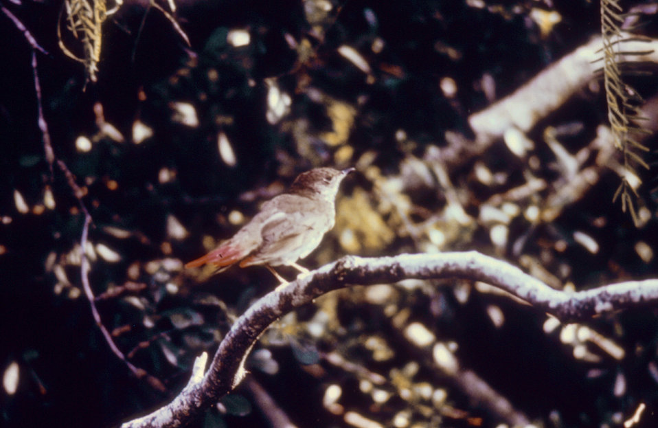 This bird's tail was marked with red paint for purposes of short-term spotting during an arbovirus field study.
