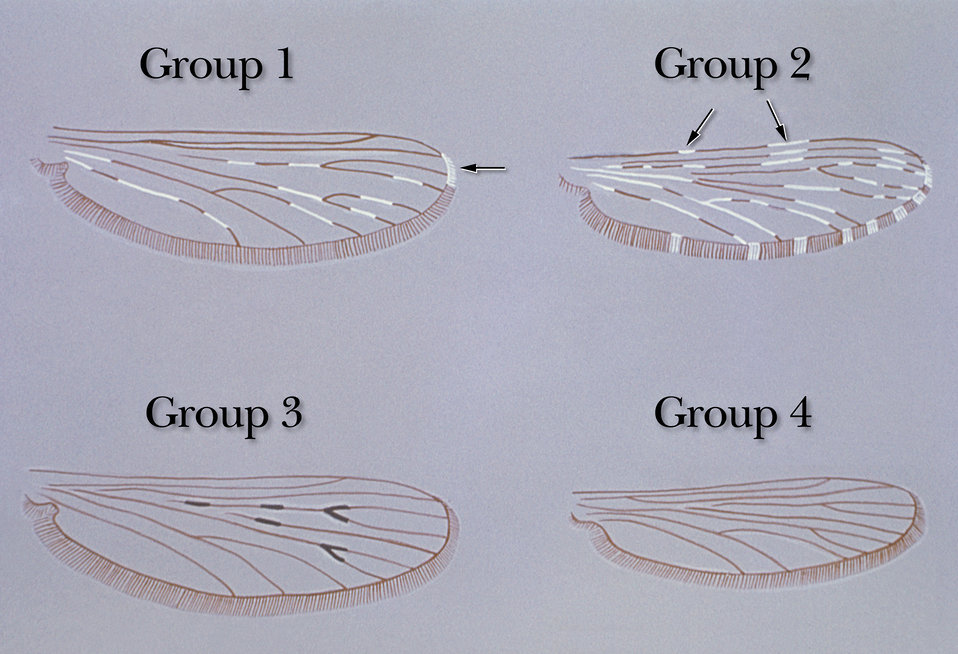 Illustration depicting variations in Anopheles mosquito wing patterns.
