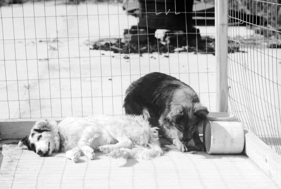 A photograph of two dogs in a pen that are afflicted with dumb rabies.