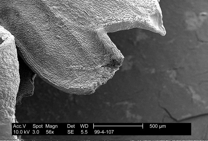 This scanning electron micrograph (SEM) reveals the highly textured surface of a parsley leaf on which bacteria can hide.