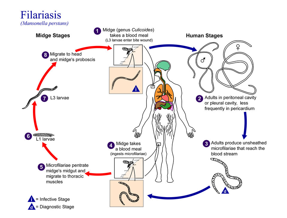 This is an illustration of the life cycle of Mansonella perstans, one of the causal agents of Filariasis.