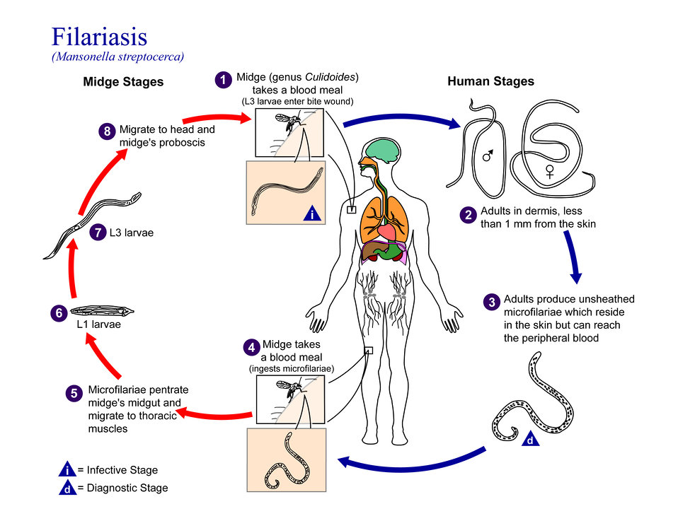 This is an illustration of the life cycle of Mansonella streptocerca, one of the causal agents of Filariasis.