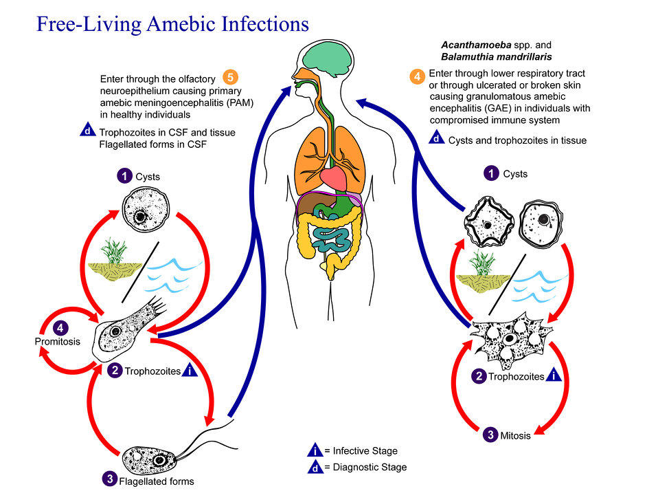 This is an illustration of the life cycle of the parasitic agents responsible for causing 'free-living' amebic infections.