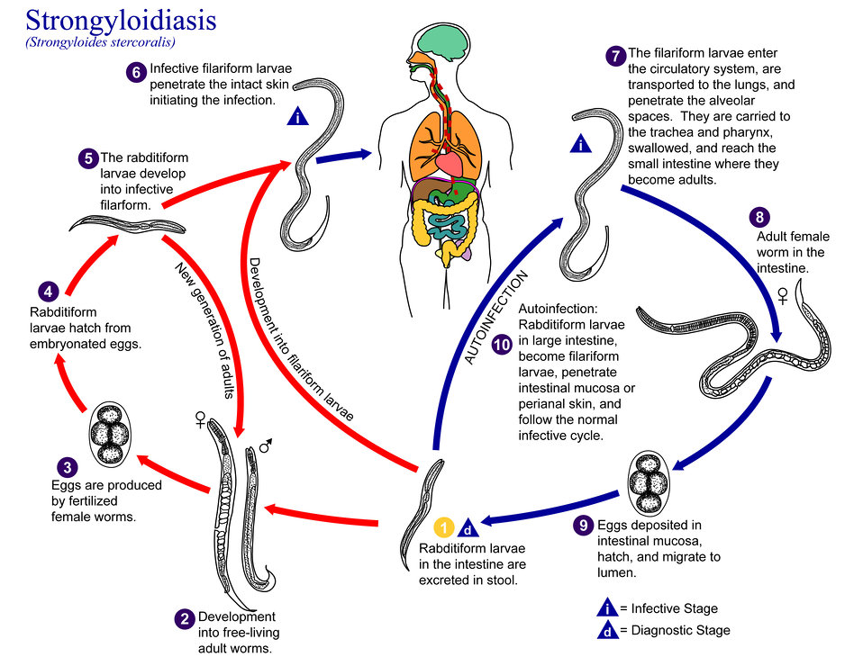 This is an illustration of the life cycle of Strongyloides stercoralis, the causal agent of Strongyloidiasis.