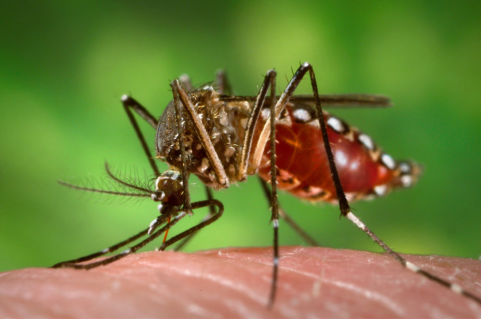 "This 2006 photograph depicted a female Aedes aegypti mosquito as she was in the process of obtaining a ""blood meal"", which normall"