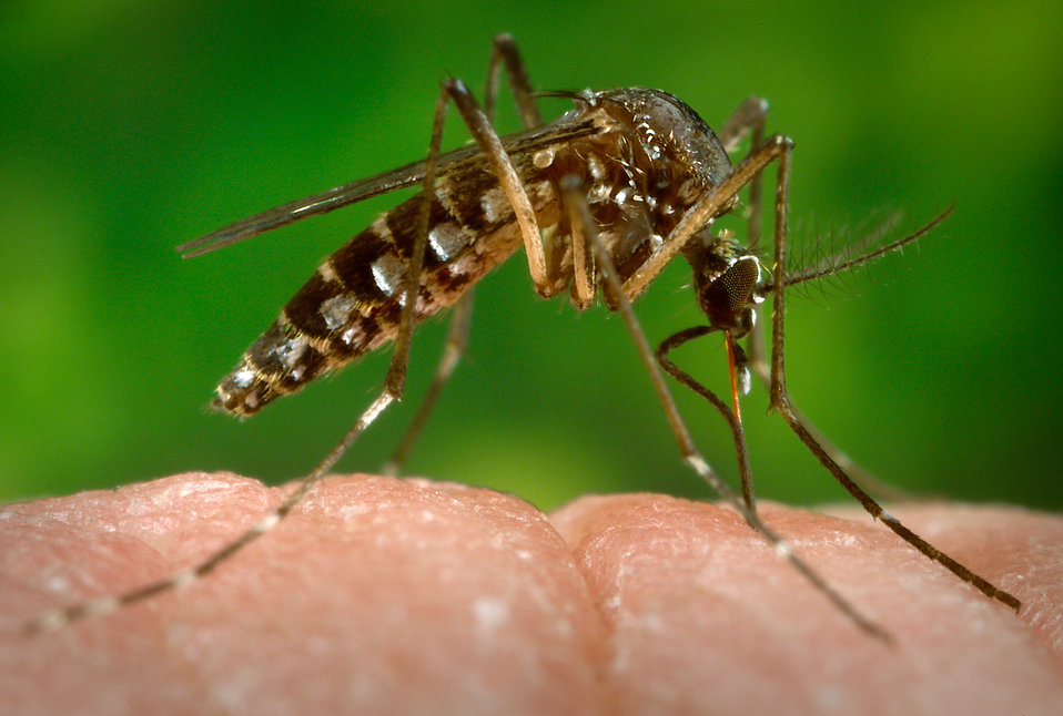 This 2006 photograph depicted a female Aedes aegypti mosquito as she was in the process of beginning the process of acquiring a blood meal f