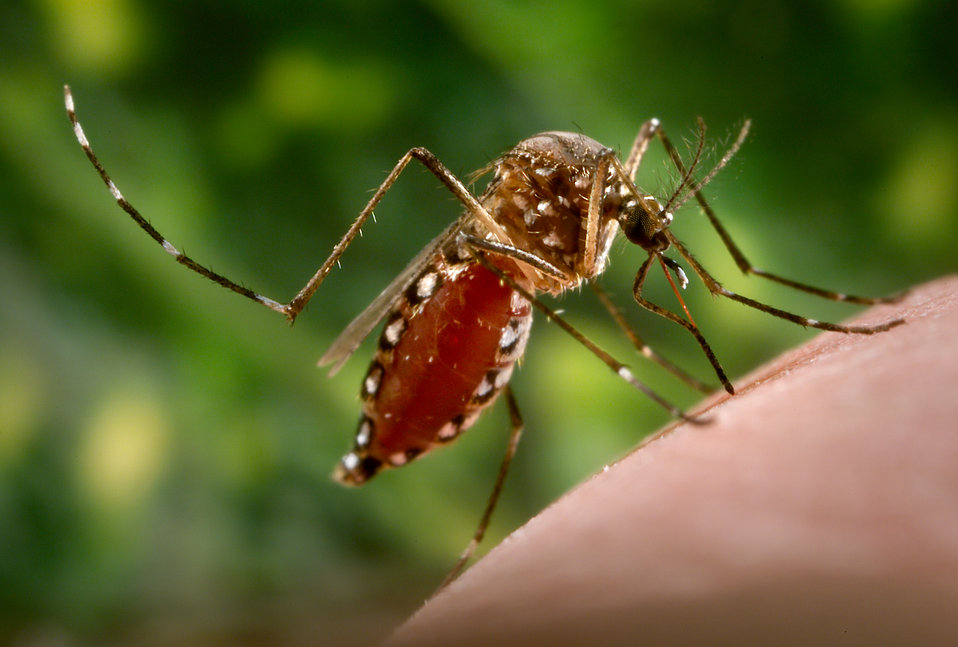 This 2006 photograph depicted a female Aedes aegypti mosquito as she was in the process of acquiring a blood meal from its human host, after
