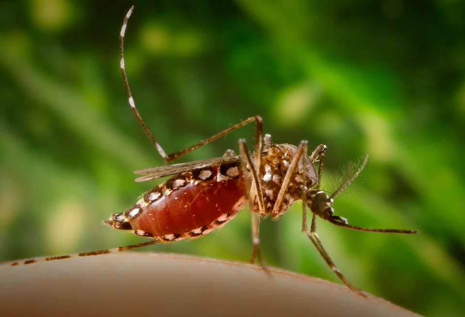 Having finished the ingestion of her blood meal, this 2006 photograph depicted a female Aedes aegypti mosquito as she was in the process of