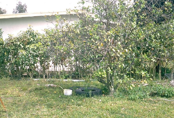 Bucket and tire in shaded area near home.  Choice potential mosquito breeding site.
