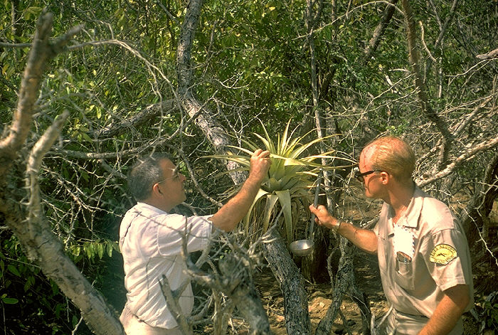 H.D. Pratt and Robert Walsh inspect bromeliad, potential mosquito breeding site, Red Hook, St. Thomas, Virgin Islands.