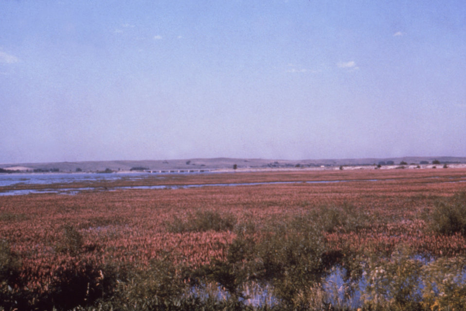 This 1976 photograph shows the pink-flowered vegetation at the edge of a lake near the Harlan County Reservoir in Nebraska.