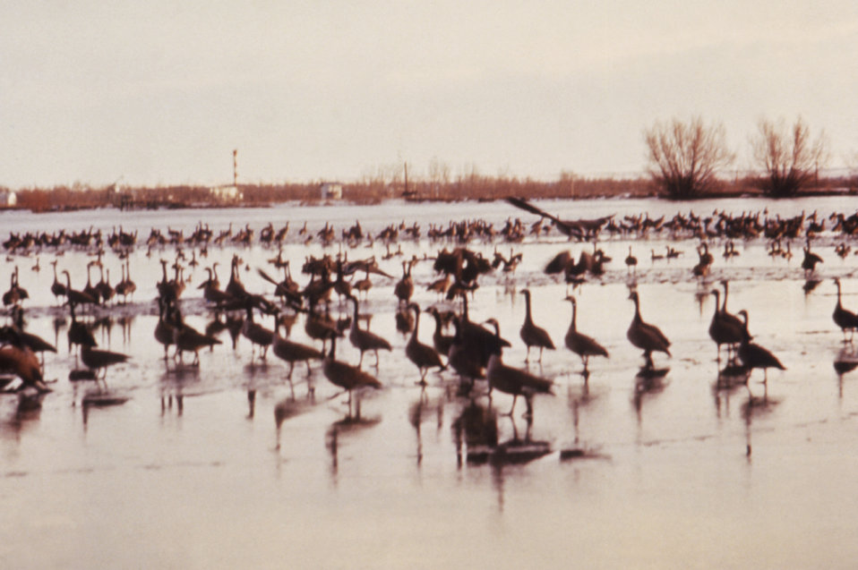 This 1976 image shows numerous Canadian geese that had landed on College Lake in Colorado during an investigation by the CDC.