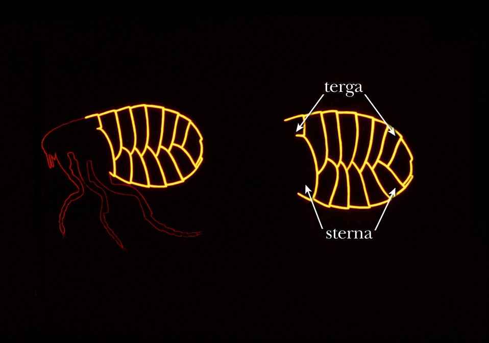 This illustration shows some of the identifying morphologic exoskeletal characteristics found on the abdomen of a flea.