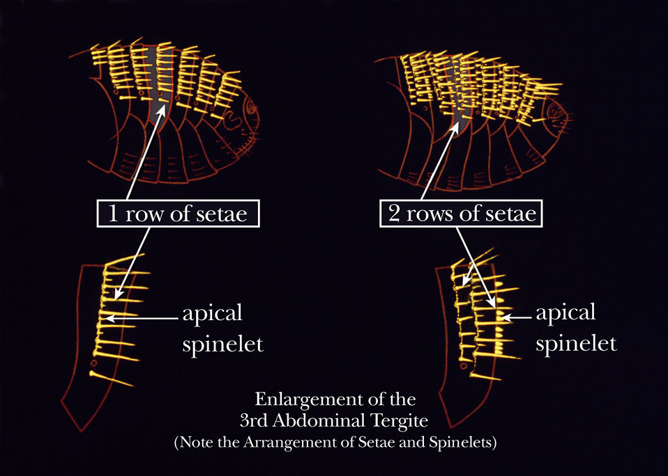 This illustration shows two of the identifying bristle characteristics on the abdominal tergites of the flea's exoskeleton.