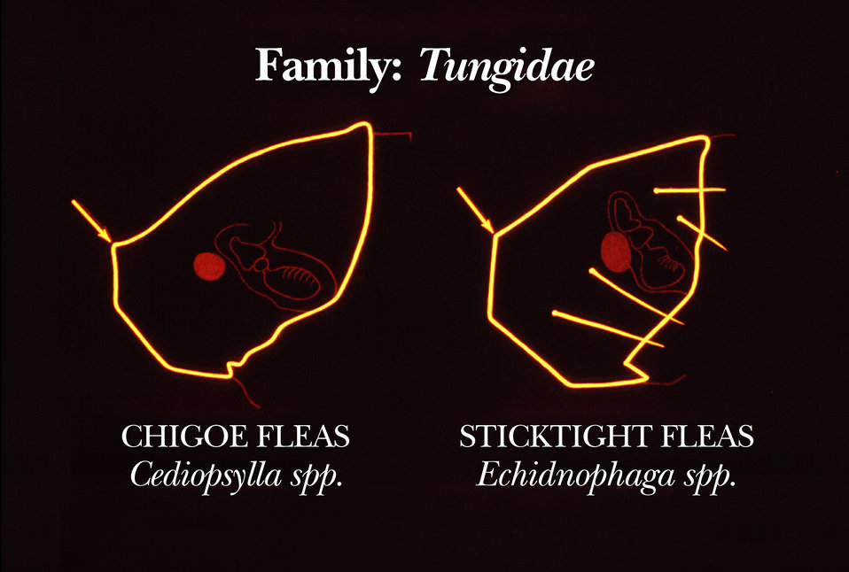 This drawing shows some of the identifying head region characteristics of certain fleas in the family Tungidae.