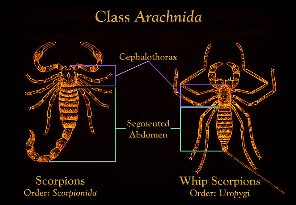Both scorpions, Scorpionida, and whip scorpions, Uropygi display a segmented separate abdominal body region.