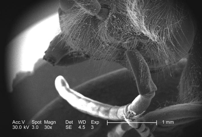 Though magnified only 30x, this 2005 scanning electron micrograph (SEM) depicted the anatomical relationship of the antenna, and the head of
