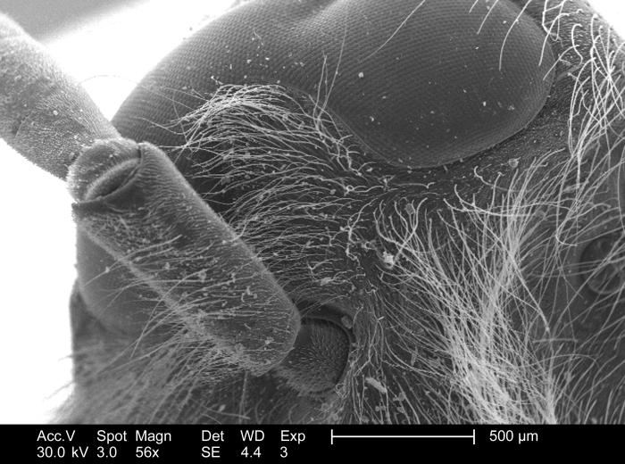 Though magnified only 56x, this 2005 scanning electron micrograph (SEM) depicted the anatomical relationship of the antenna, and the head of