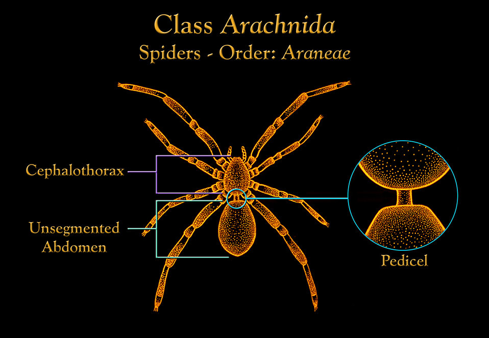 This illustration depicts the anatomic features found in spiders, members of the Class Arachnida, Order Araneae.