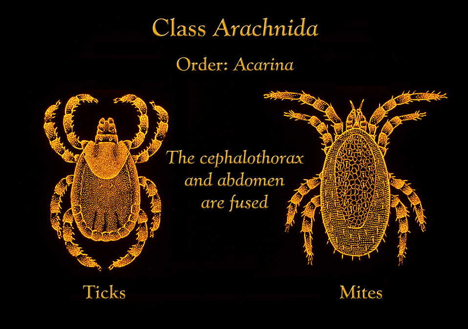 This illustration depicts the anatomic features found in both ticks and mites, each group belonging to the order Acarina.