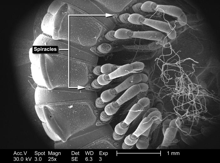 Magnified only 25x, this scanning electron micrograph (SEM) depicted the morphologic characteristics associated with an unidentified millipe