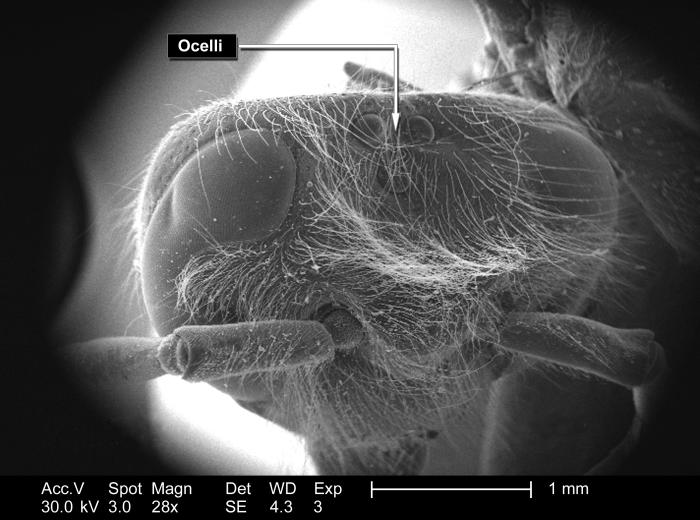 This scanning electron micrograph (SEM) depicted the head region of an unidentified hymenopteran insect found deceased on the grounds of the