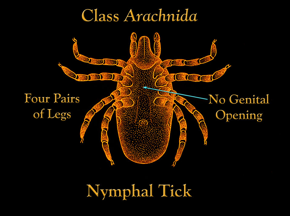 This illustration depicts the features of a nymph-staged, or immature tick, which at this stage possess four pairs of legs.