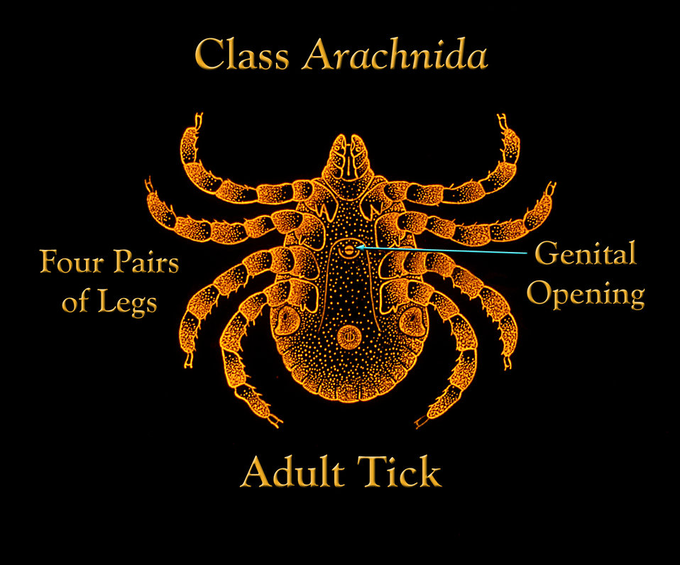 This illustration depicts the features of an adult tick, which at this stage does possess four pairs of legs, and a genital opening.