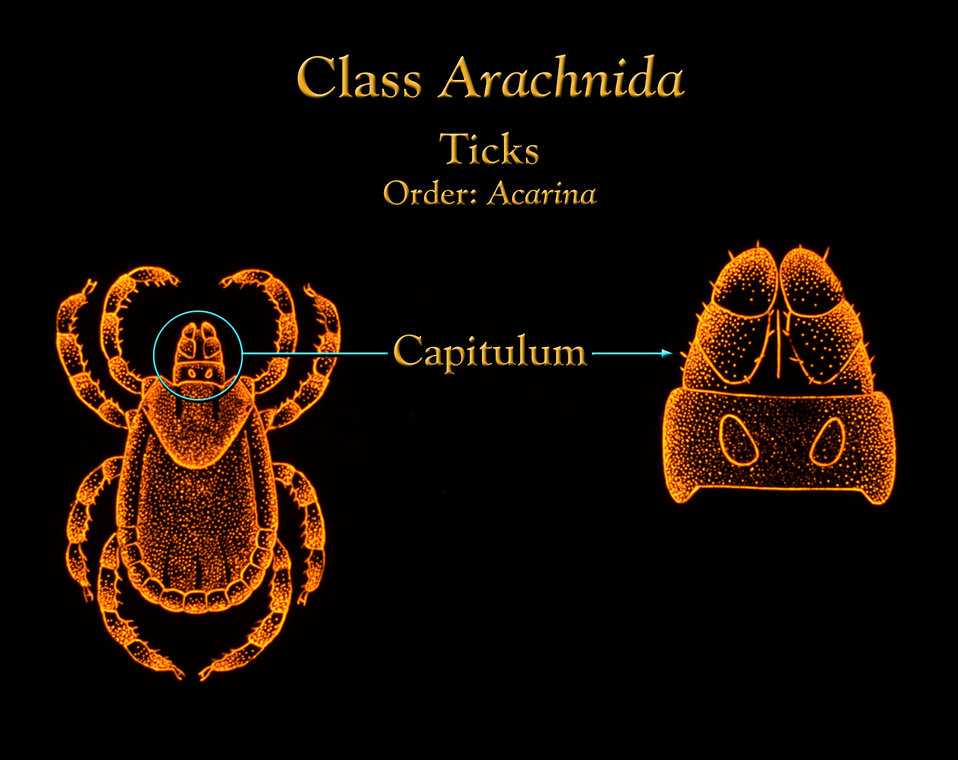 At its anterior end, ticks possess what is termed a 'capitulum', or 'little head', made up of the arachnid's mouthparts.