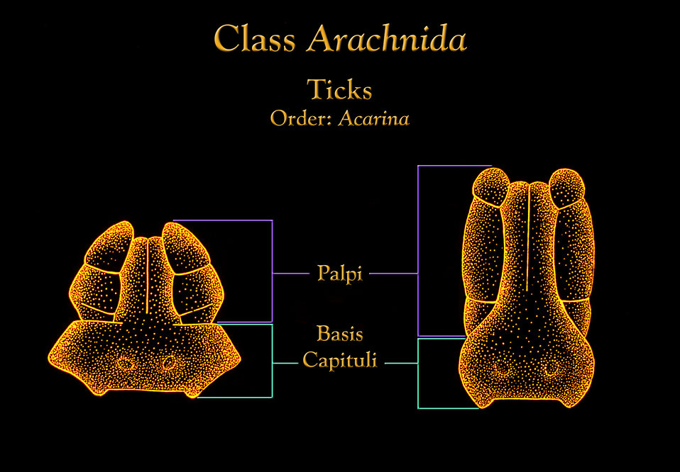 This illustration depicts the capituli of two different genera of ticks, pointing out the various mouthparts at this location.