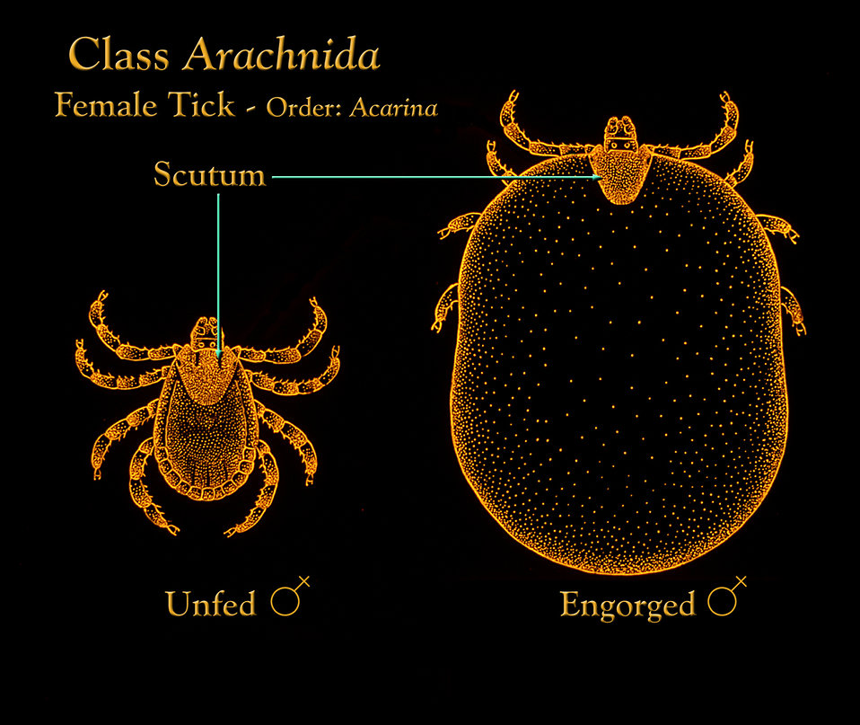 This illustration depicts the appearance of an unfed female Ixodidae hard tick compared to an engorged female.