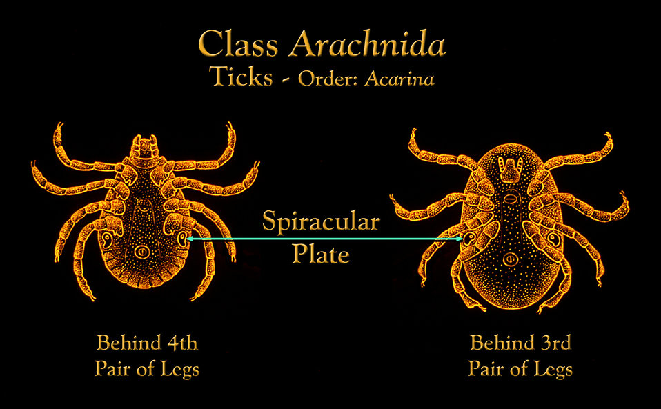 This illustration depicts the location of a tick's breathing orifices each contained in a hard chitinous 'spiracular plate'.