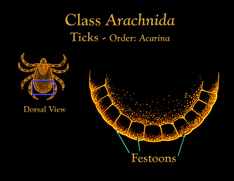 This drawing depicts the anatomic location of the 'festoons' that adorn the posterior abdominal ventral margin of many ticks.