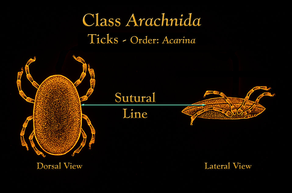 This drawing depicts the anatomic location of the 'sutural line' located circumferentially along the outer abdominal margin.
