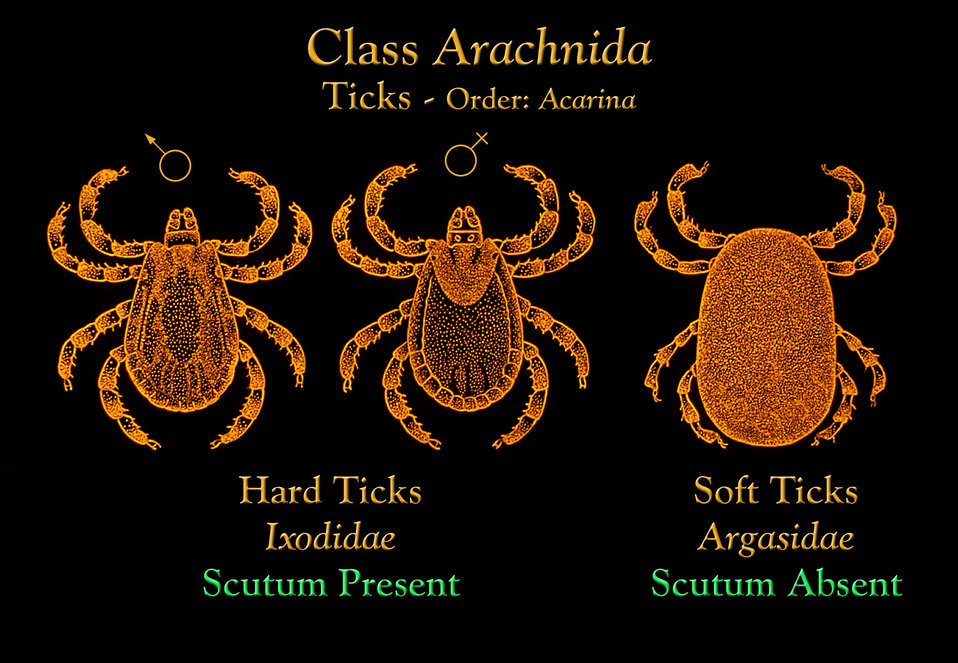 This image depicts the morphologic differences seen between the Ixodidae hard ticks, and the Argasidae soft ticks.