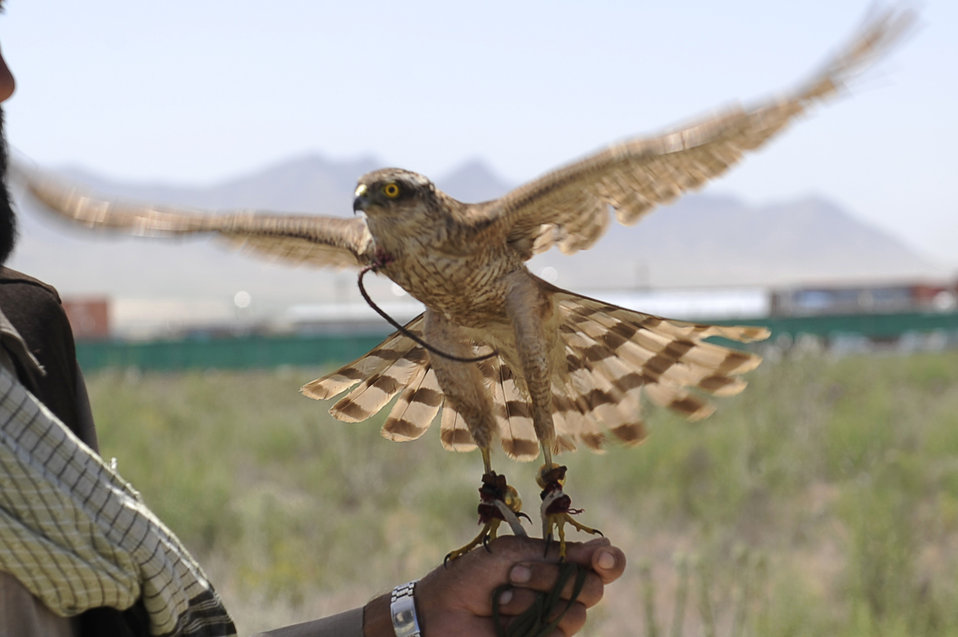 Afghan falconers and Airmen keep airfield safe