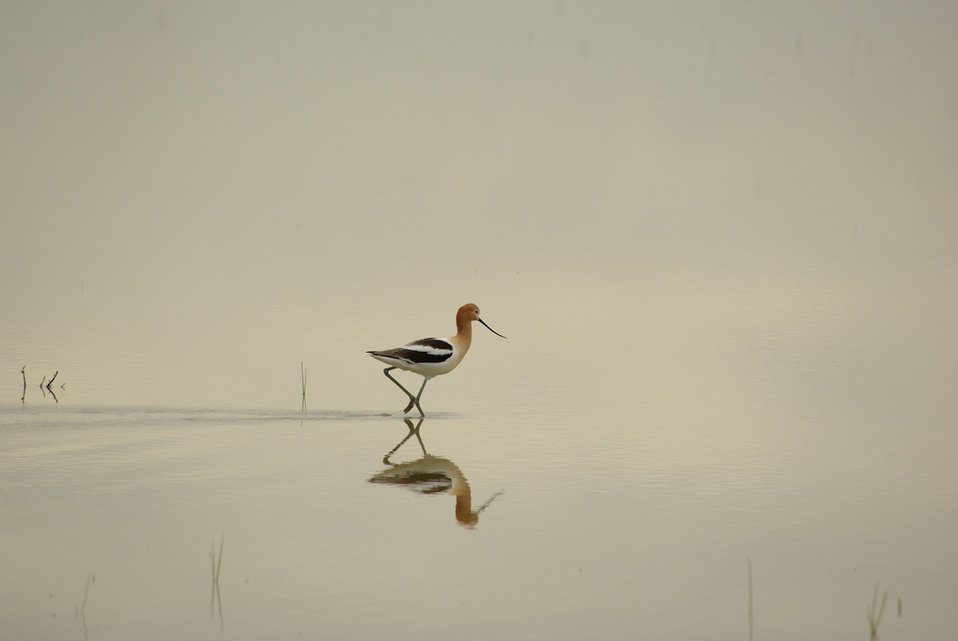 avocet and reflection