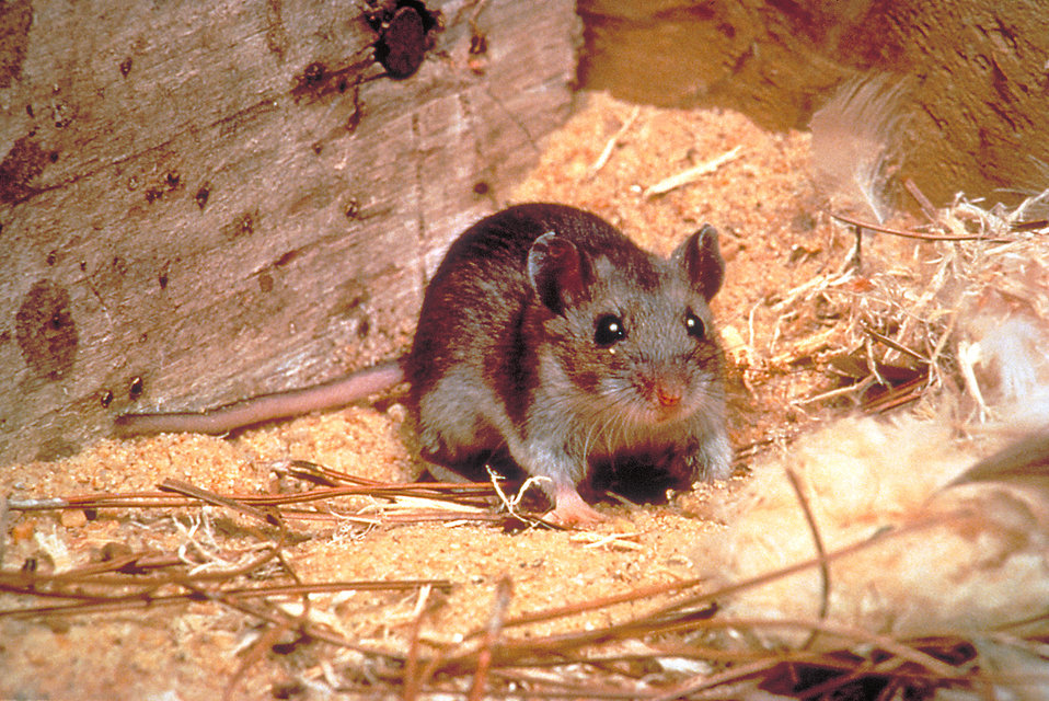 This is a deer mouse, Peromyscus maniculatus, a Hantavirus carrier that becomes a threat when it enters human habitation in rural and suburb