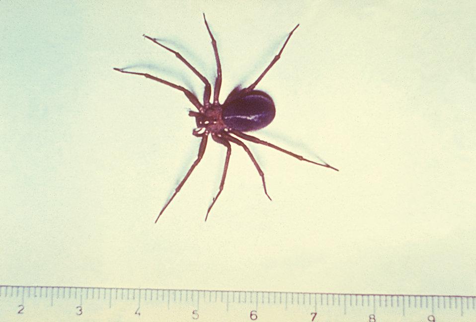 Dangerous Chilean Recluse Spider Colonizes Los Angeles ... |Chilean Recluse