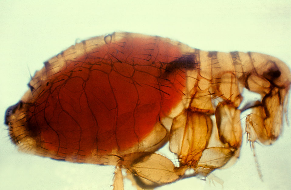 Xenopsylla cheopis, Oriental rat flea, with a proventricular plague mass.