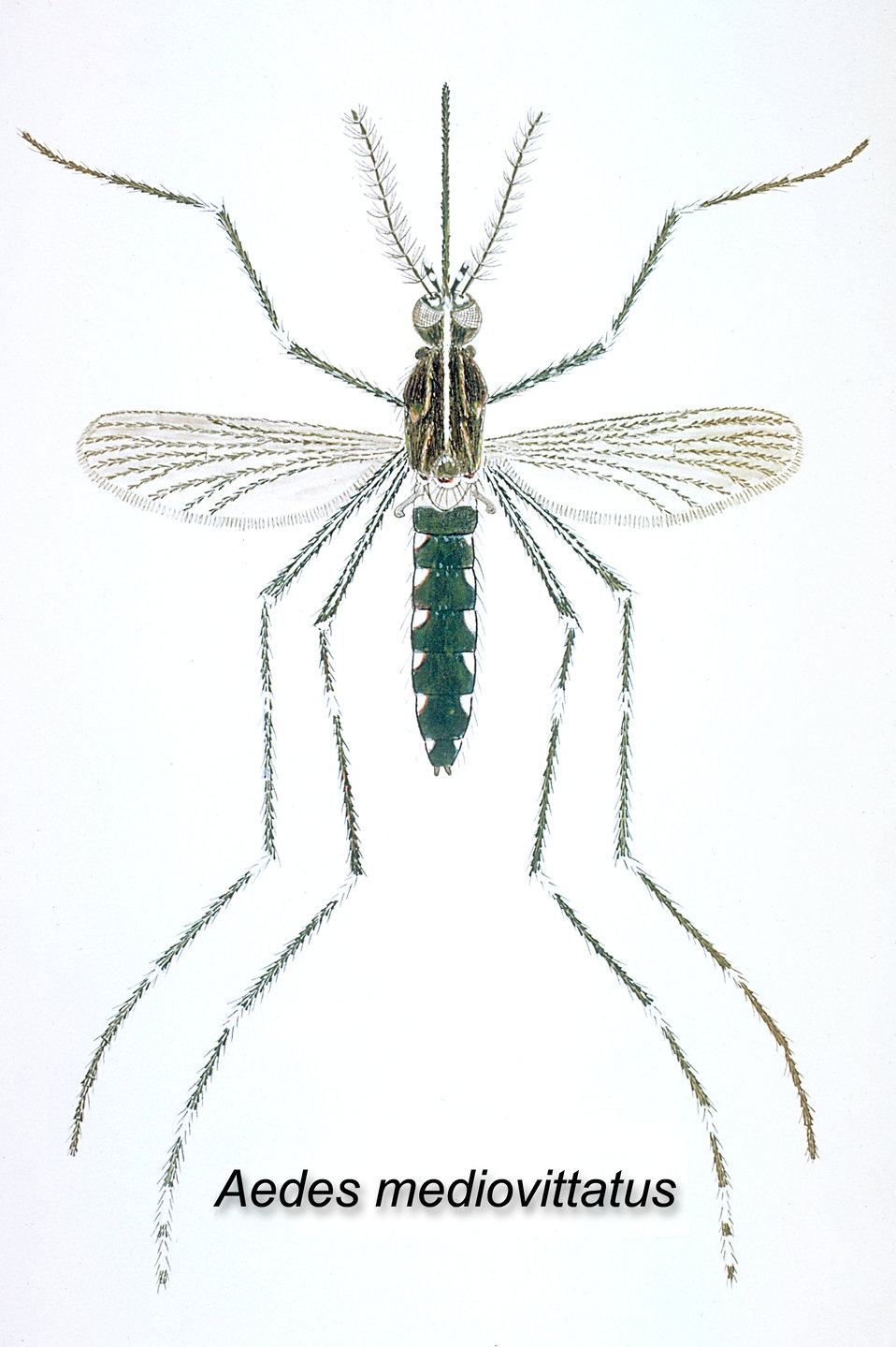 The Aedes mediovittatus mosquito has been shown to be a vector in the transmission of Dengue Fever. (Illustration)