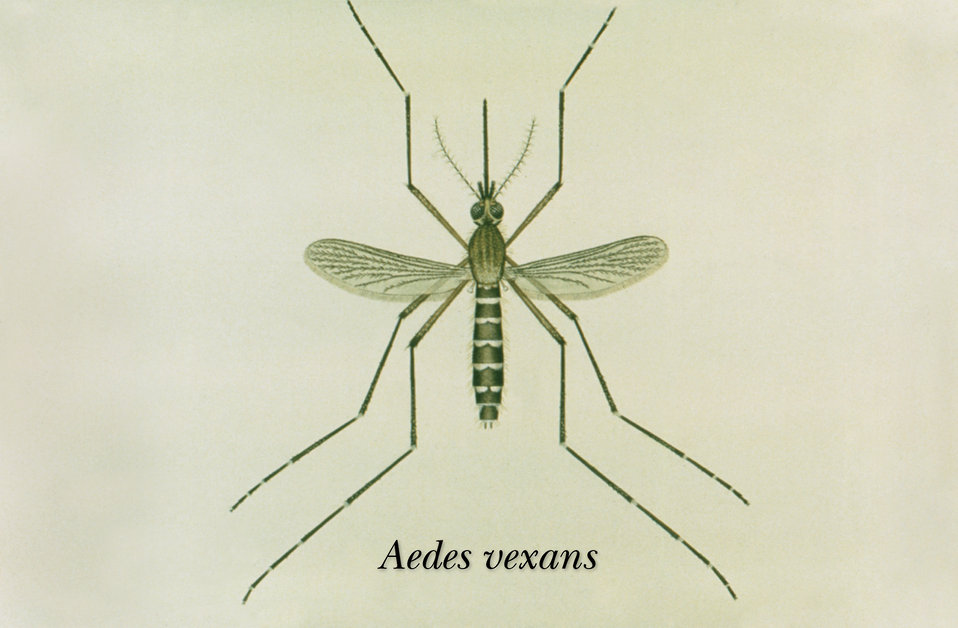 This is an illustration of an adult Aedes vexans mosquito.