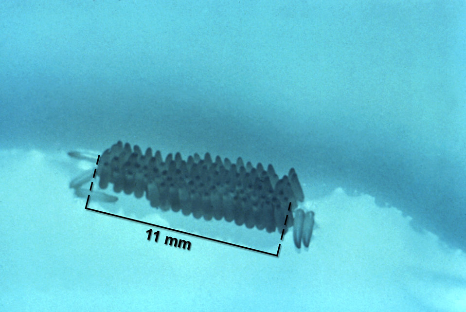 This photograph depicts a typical mosquito egg raft measuring 11 mm in length.