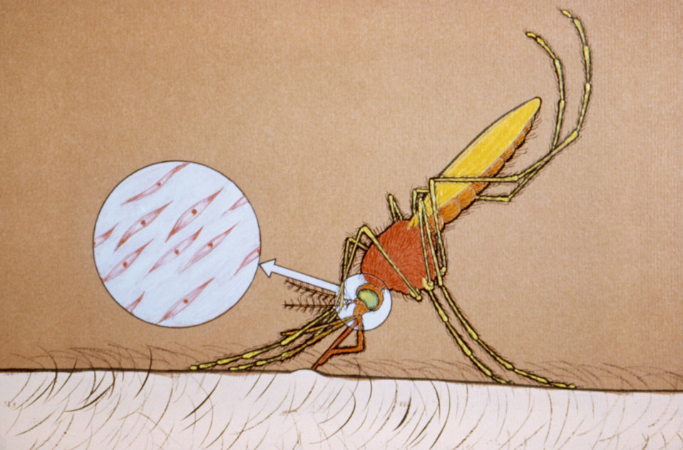 This illustration depicts an Anopheles sp. mosquito transmitting sporozoites while obtaining a blood meal.