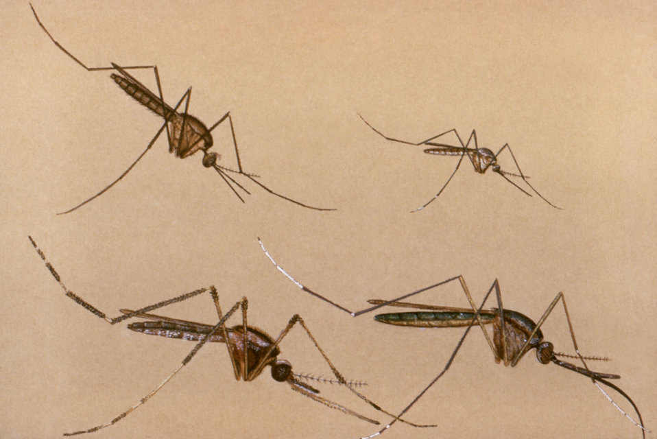This illustration of four mosquitoes shows that these bloodsucking insects vary in size, and assume different resting positions.