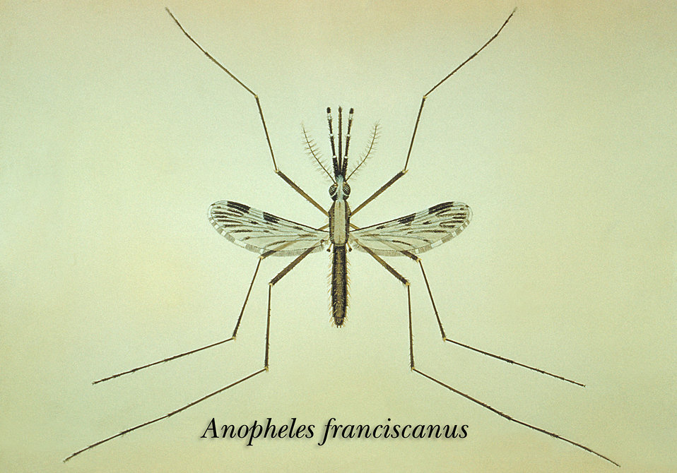 An illustration of the Anopheles franciscanus mosquito.