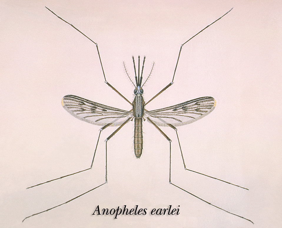 An illustration of an Anopheles earlei mosquito.